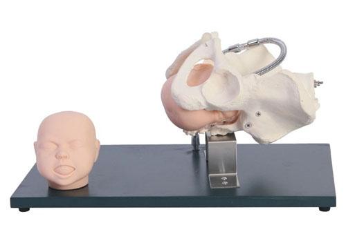 带有胎儿头的骨盆模型