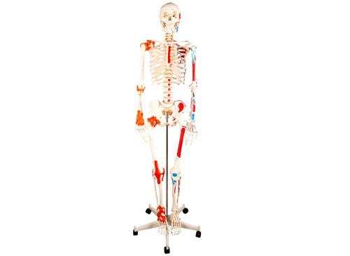 人体骨骼附半边肌肉着色附韧带模型