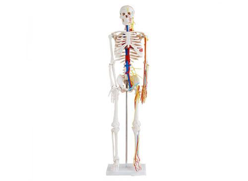 人体骨骼带心脏和血管模型85CM