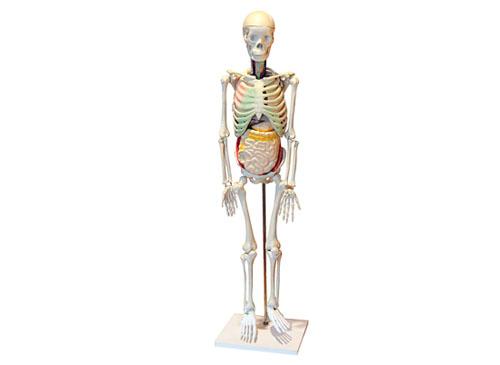 人体骨骼与内脏关系模型