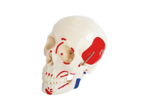 头骨附肌肉着色模型