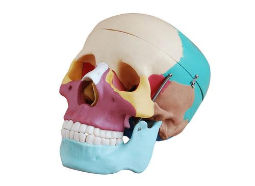 彩色头骨模型