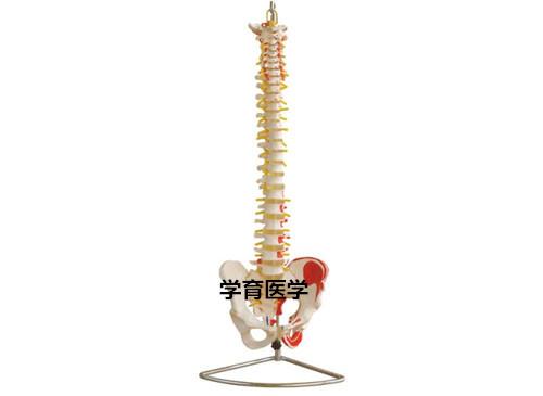 脊椎带骨盆附肌肉着色模型