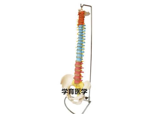 彩色脊椎带骨盆模型