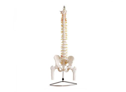 脊椎附骨盆和半腿骨模型