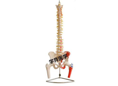 脊椎附骨盆和半腿骨附肌肉着色模型