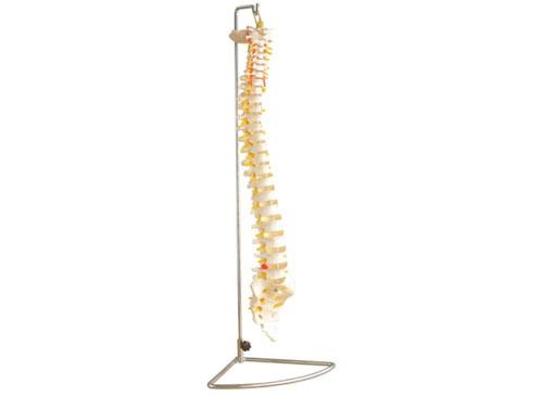 脊柱模型_人体脊柱模型