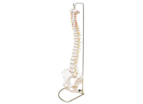 脊椎带骨盆模型