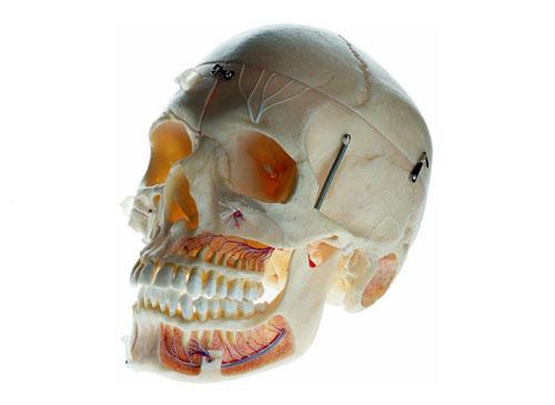 成人头颅骨附血管神经模型