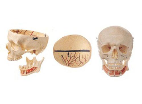成人头颅骨附神经模型