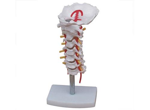 颈椎带颈动脉模型