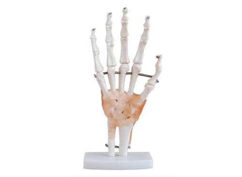手关节带韧带模型