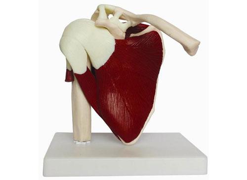 肩关节带肌肉模型