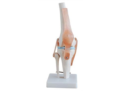 膝关节模型