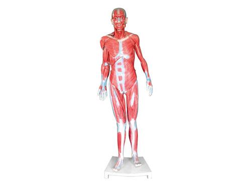 全身肌肉解剖模型