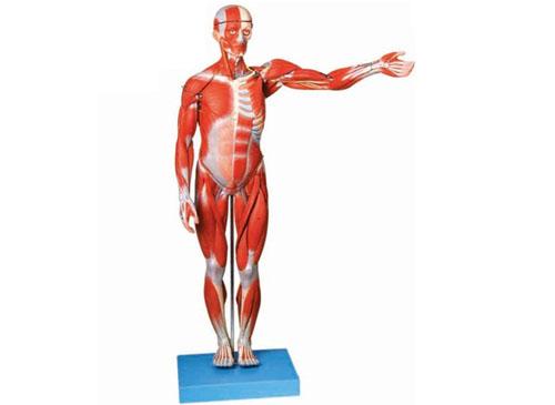 人体全身肌肉解剖模型