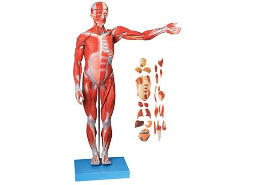 人体肌肉解剖模型
