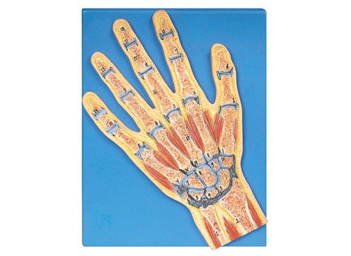 手关节剖面模型