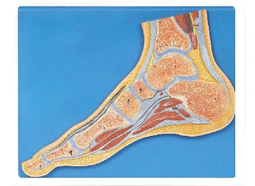 足关节剖面模型