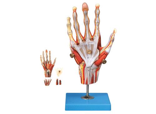 手肌附主要血管神经模型