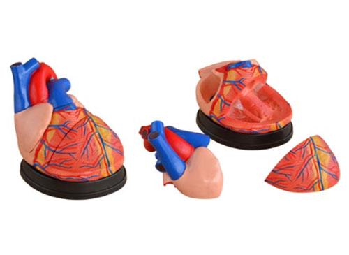 心脏放大模型
