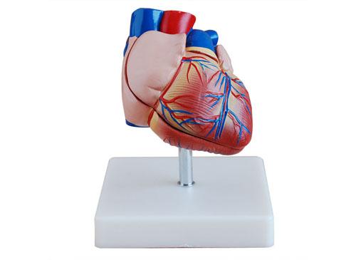 人体心脏模型