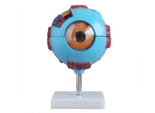 眼球放大模型