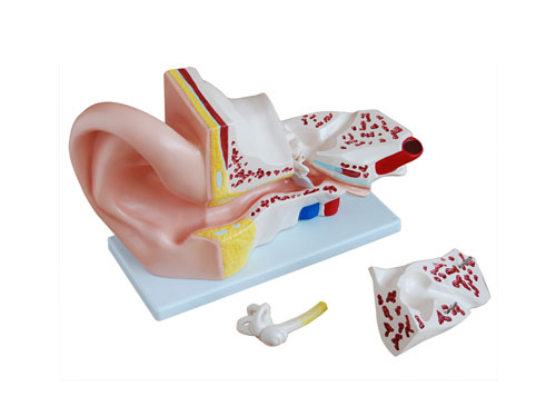 耳朵模型(放大5倍)
