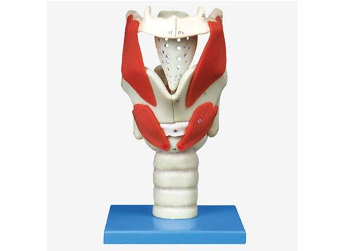 喉结构与功能放大模型