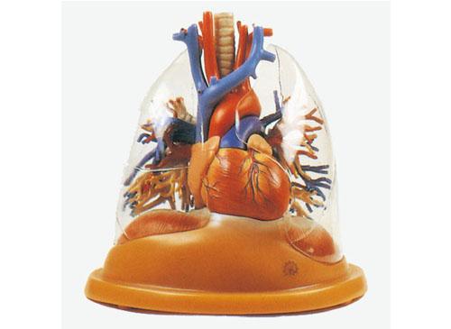透明肺、气管、支气管树连心脏模型