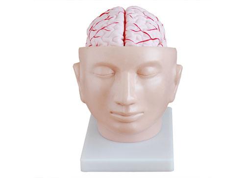 头部附脑和动脉模型