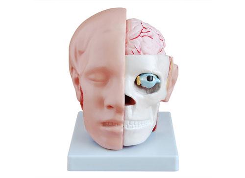 头解剖附脑动脉模型