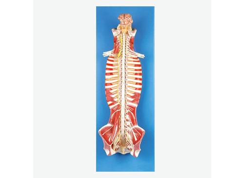 椎管内部脊髓神经模型