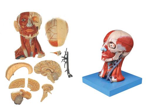 头颈部肌肉、血管附脑模型