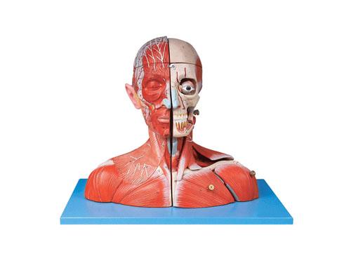 头颈部血管神经附脑模型