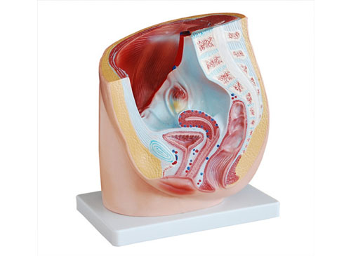 女性盆腔矢状解剖模型