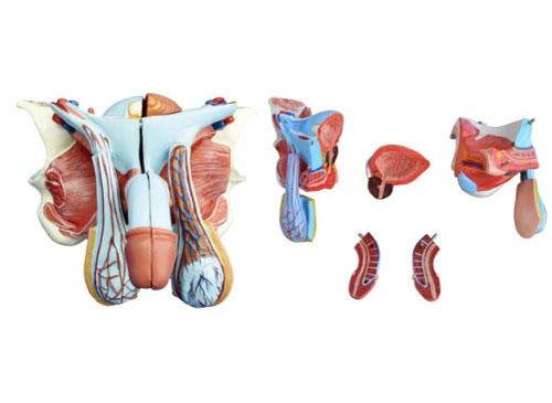 男性内外生殖器模型