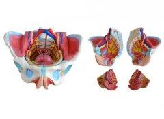 女性骨盆附生殖器与血管神经模型