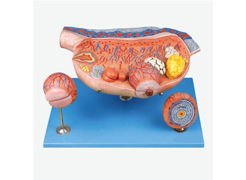 卵巢放大模型
