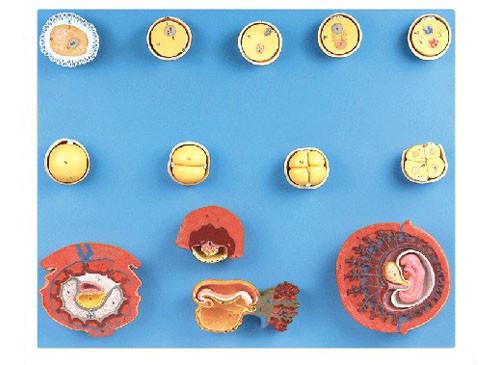 受精与初期胚胎发育过程模型