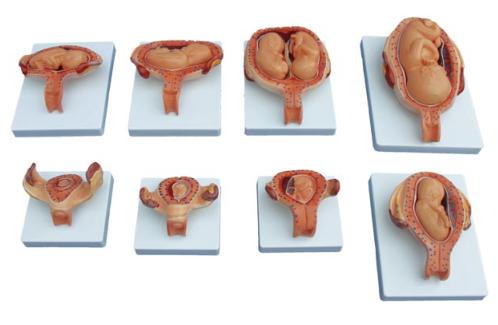 妊娠胚胎发育过程模型
