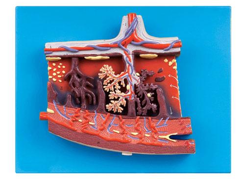 胎盘组织放大模型