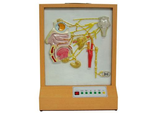 头面部自主神经分布电动模型