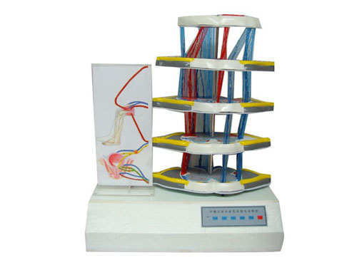 脊髓反射与损伤表现电动模型