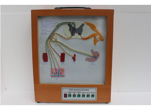 脊神经的组成和分布电动模型