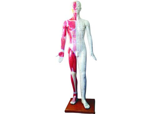 针灸人模型