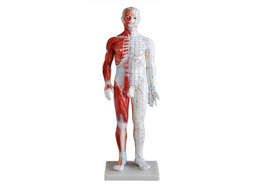 人体经络模型