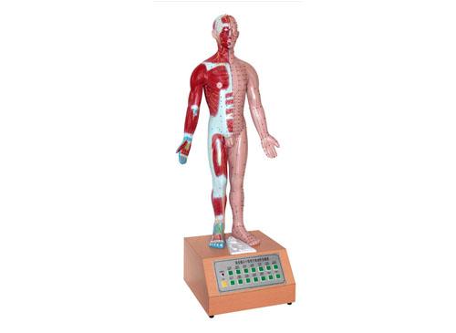 电动语言十四针灸模型