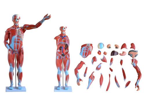人体肌肉模型