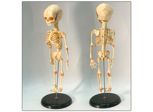婴儿骨骼模型_胎儿骨架模型